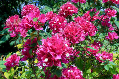 Buganvília, Fahrenheit de Fueng no jardim Foto de Stock Royalty Free