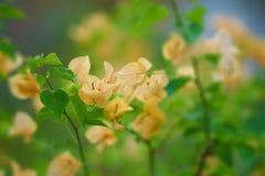 Buganvília, flor amarela no fundo do borrão imagens de stock
