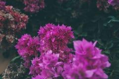 A buganvília floresce a textura e o fundo Flores roxas da árvore da buganvília Imagem de Stock Royalty Free