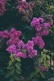 A buganvília floresce a textura e o fundo Flores roxas da árvore da buganvília Foto de Stock Royalty Free