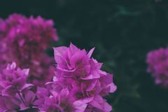 A buganvília floresce a textura e o fundo Flores roxas da árvore da buganvília Fotografia de Stock