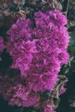 A buganvília floresce a textura e o fundo Flores roxas da árvore da buganvília Imagens de Stock Royalty Free