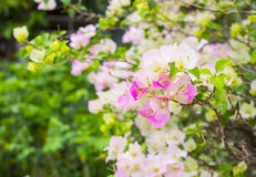 Buganvília macia no parque Fotografia de Stock Royalty Free