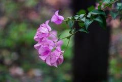 Buganvília ou flor de papel Imagens de Stock