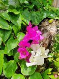 Buganvilia, uma das plantas as mais bonitas no mundo foto de stock