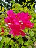 Buganvilia, uma das plantas as mais bonitas no mundo imagens de stock royalty free