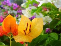Buganvilla amarilla Imagen de archivo libre de regalías