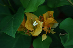 Buganvilla amarilla Foto de archivo libre de regalías