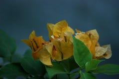 Buganvilla amarilla Fotos de archivo