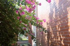 Buganvilla brillante al lado de la pared, adobe rgb foto de archivo libre de regalías