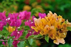 Buganvilla como hermosa y colorido deslumbrado Imagenes de archivo
