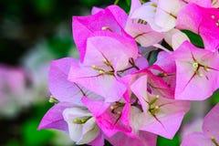 Buganvilla con rosa Foto de archivo