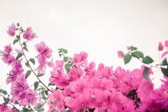 Buganvilla de las flores Fotos de archivo libres de regalías