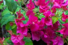 Buganvilla floreciente Foto de archivo libre de regalías