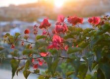 Buganvilla floreciente y luz del sol Imagen de archivo libre de regalías