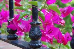 Buganvilla fucsia rosada hermosa entre un hierro labrado negro 4 que cercan con barandilla imagen de archivo libre de regalías