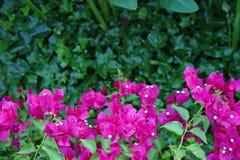 Buganvilla fucsia rosada hermosa entre una verja negra del hierro labrado imagenes de archivo