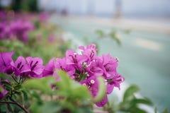 Buganvilla púrpura de la flor de papel fotos de archivo