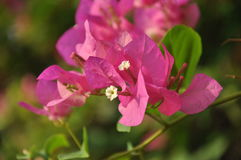 Buganvilla rosada Foto de archivo