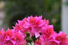 Buganvilla rosada Fotografía de archivo libre de regalías