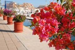 Buganvilla rosada de Marina Cabo San Lucas Imágenes de archivo libres de regalías