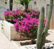 Buganvilla y cactus Foto de archivo
