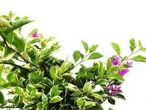 Buganvillea con le foglie isolate su fondo bianco fotografie stock