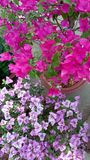 Buganvillea del fiore immagine stock libera da diritti
