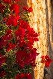 Buganvillea di fioritura su una facciata Immagine Stock Libera da Diritti