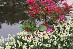 Buganvillea e narciso di Waterside Fotografia Stock
