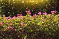 Buganvillea in fiori rosa e brillanti con le foglie verdi Immagini Stock Libere da Diritti