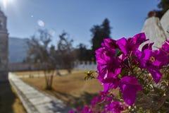 Buganvillea nel giardino di mattina fotografia stock