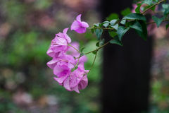 Buganvillea o fiore di carta Immagini Stock