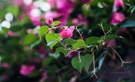 Buganvillea o fiore rosa Fotografia Stock Libera da Diritti