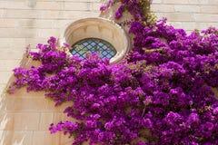 Buganvillea rosa Immagine Stock