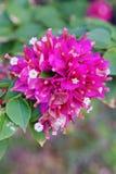 Buganvillea rosa Fotografia Stock Libera da Diritti
