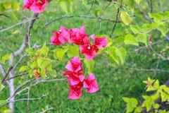 Buganvillea rosa Immagine Stock Libera da Diritti