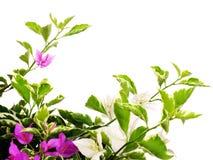 buganvillea rosa con le foglie isolate su fondo bianco immagine stock libera da diritti