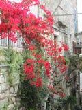 Buganvillea rossa sulla villa italiana Immagine Stock Libera da Diritti