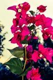 Buganvillee in bloei Royalty-vrije Stock Afbeelding