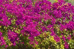 Buganvília cor-de-rosa ou flor de papel Imagens de Stock Royalty Free