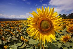 Bugaria Sunflowers. Sunflower in sunflower field with blue sky stock image