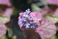 Bugel Atropurpurea royalty-vrije stock afbeelding