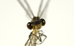 Bugeyes. Macro Photo of a Dragon Fly Stock Photo