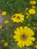 Bugga på blomma arkivfoton