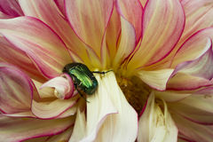 Bugga på blomma Arkivbilder