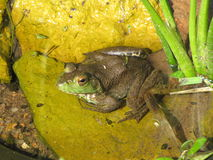 Bugged Eyed Bullfrog. Here is a bugged eyed bullfrog sitting in a pond on a greenish yellowish lily pad Royalty Free Stock Photo
