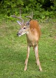 Buggy buck Royalty Free Stock Photos