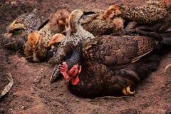 Bugia dei pulcini e della gallina sulla terra Immagini Stock Libere da Diritti