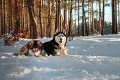 Bugia del cane del husky sul Immagini Stock Libere da Diritti
